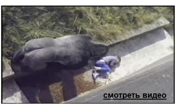 Мальчик упал в вольер. Пока вызывали спасателей, к нему подошла горилла. Дальше..
