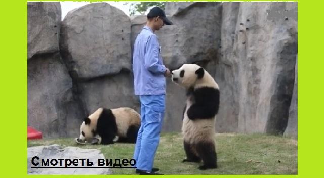 Панда в китайском зоопарке рассмешила всех до слёз в интернете.