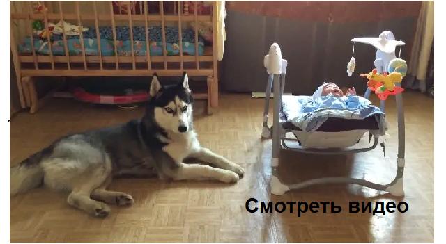 Хаски Дик успокаивает ребенка. Даже не верится, что пёс такой умный.