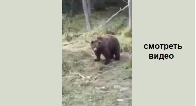 Пришли с другом за грибами... И вдруг медведи! (видео)