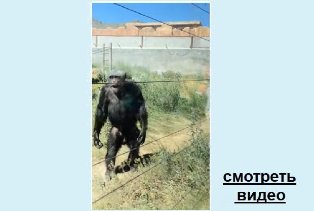 Шимпанзе приколист. Что он сделал...